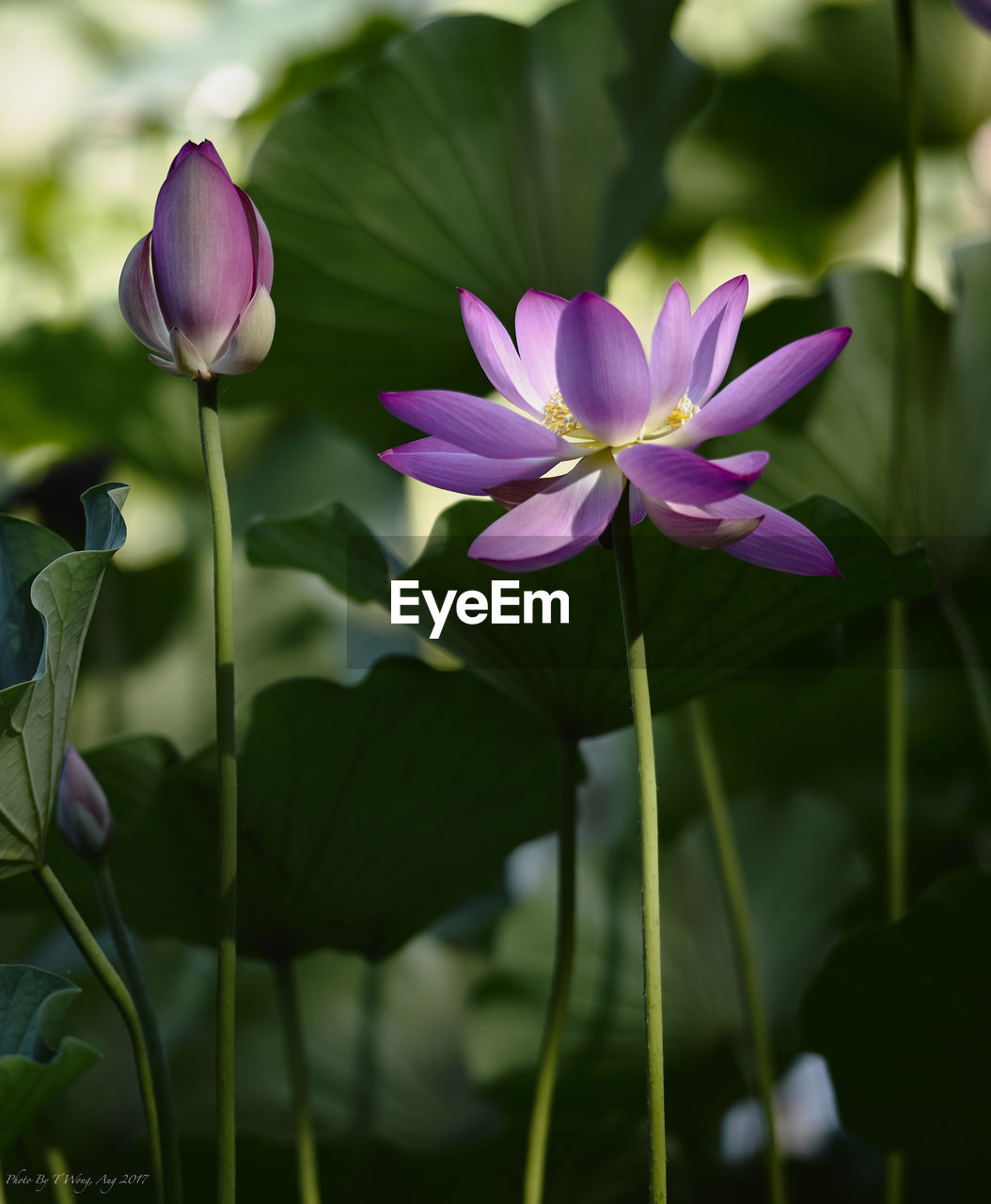 flower, petal, beauty in nature, fragility, nature, growth, freshness, purple, plant, flower head, outdoors, leaf, day, blooming, no people, focus on foreground, pink color, close-up, lotus water lily, crocus