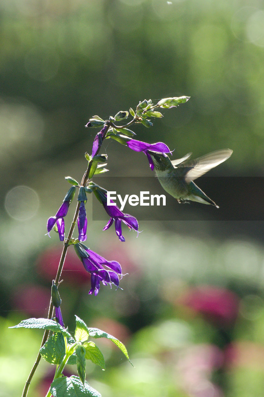 plant, flowering plant, flower, growth, beauty in nature, focus on foreground, fragility, vulnerability, close-up, freshness, nature, petal, purple, no people, day, flower head, inflorescence, outdoors, plant part, plant stem