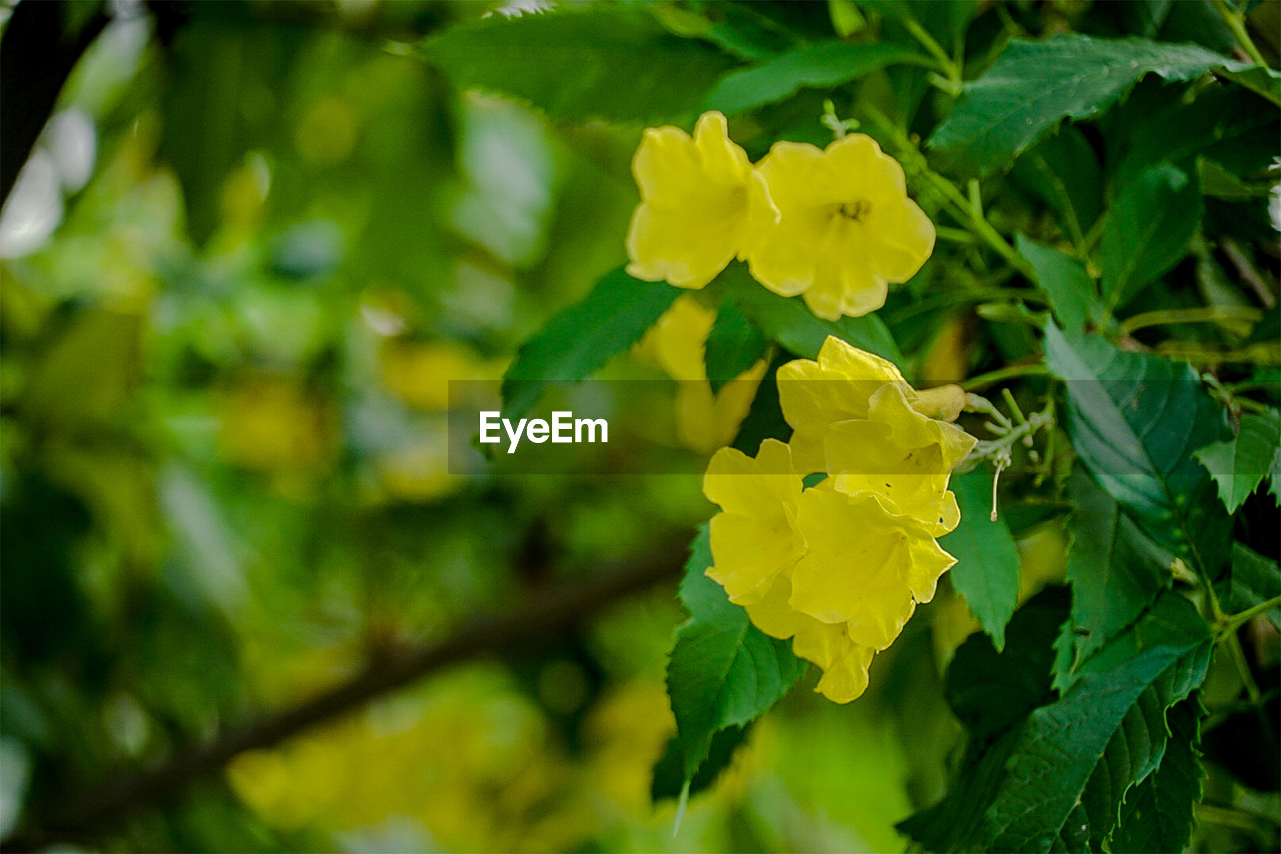 CLOSE-UP OF YELLOW FLOWERING PLANT AGAINST BLURRED BACKGROUND