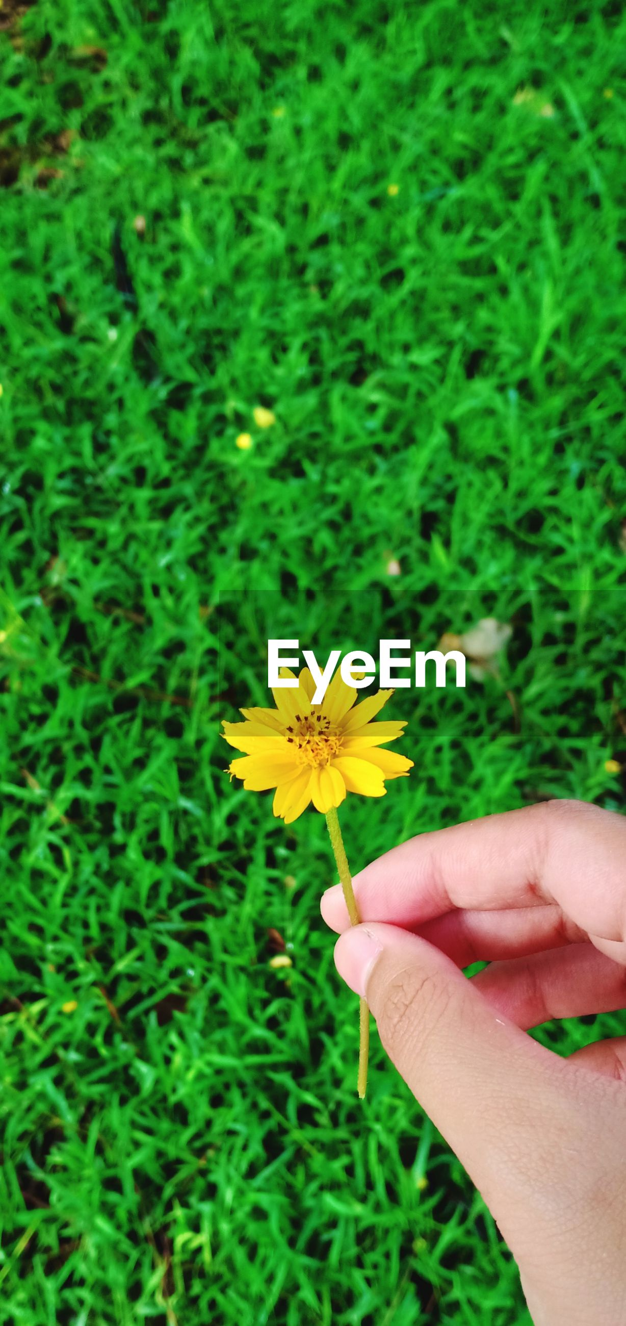 Close-up of hand holding yellow flower outdoors
