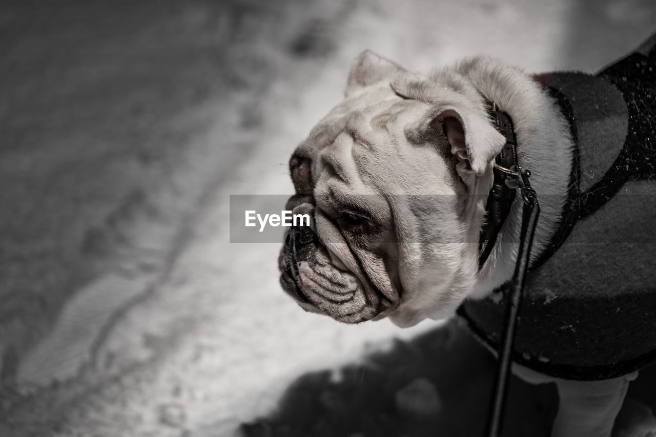 one animal, pets, dog, domestic, canine, domestic animals, animal themes, mammal, animal, vertebrate, focus on foreground, english bulldog, animal body part, close-up, no people, day, bulldog, animal head, looking, looking away, animal mouth