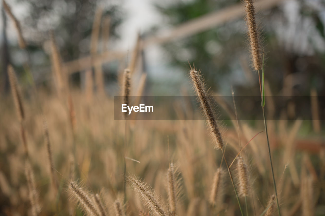 plant, growth, tranquility, nature, day, close-up, focus on foreground, beauty in nature, cereal plant, no people, crop, field, selective focus, agriculture, land, rural scene, landscape, farm, outdoors, wheat, stalk, timothy grass