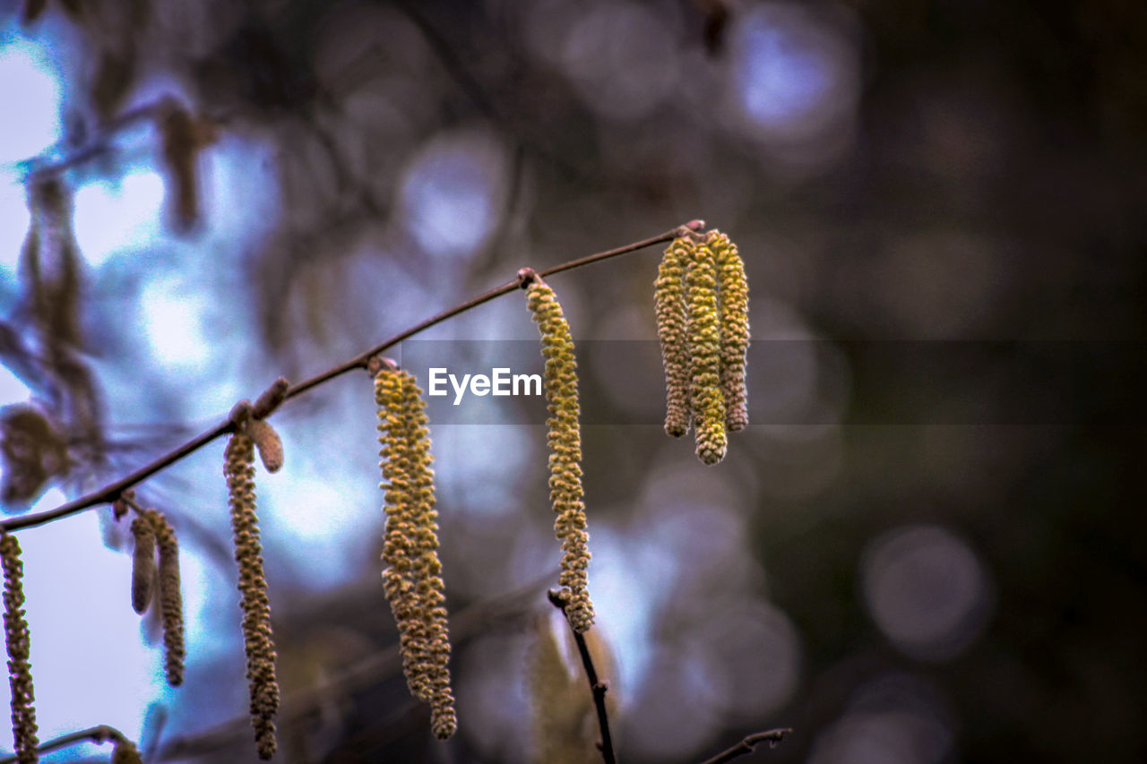plant, focus on foreground, growth, beauty in nature, pussy willow, close-up, nature, no people, day, flower, tranquility, flowering plant, outdoors, selective focus, fragility, vulnerability, tree, hanging, twig, low angle view