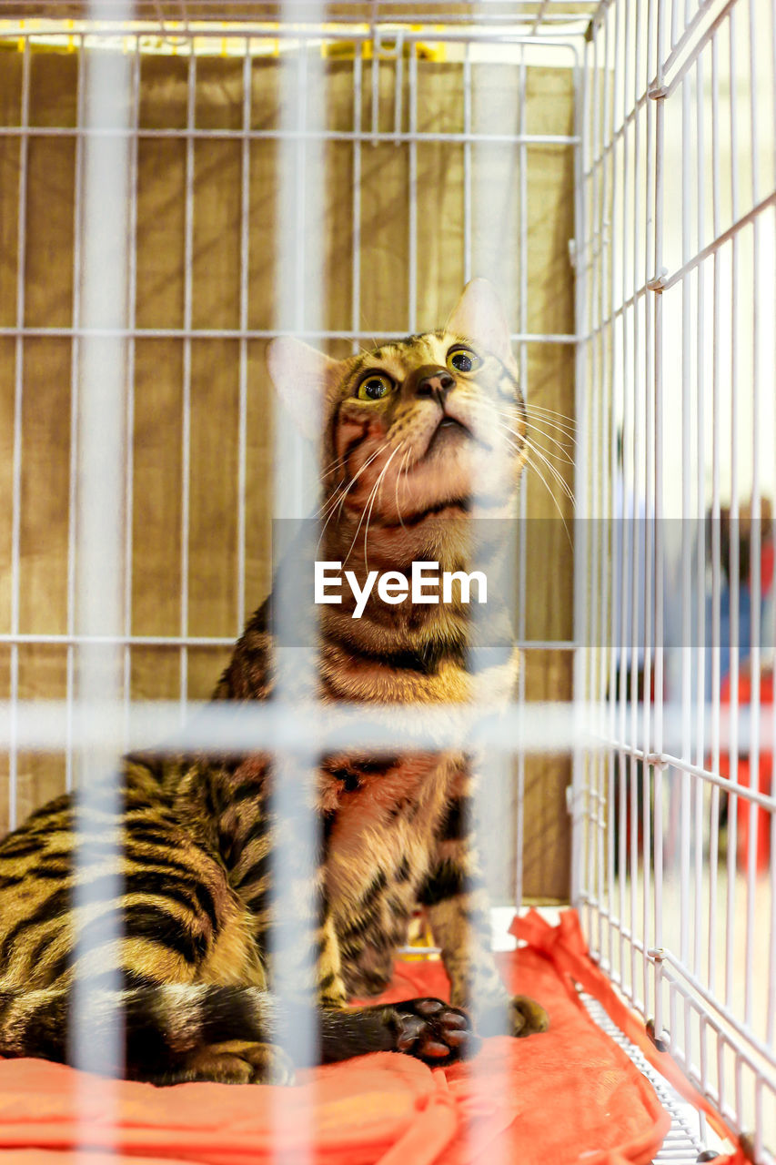 Cat sitting in the cage at the exhibition the active and cute cat which located in pahang, malaysia