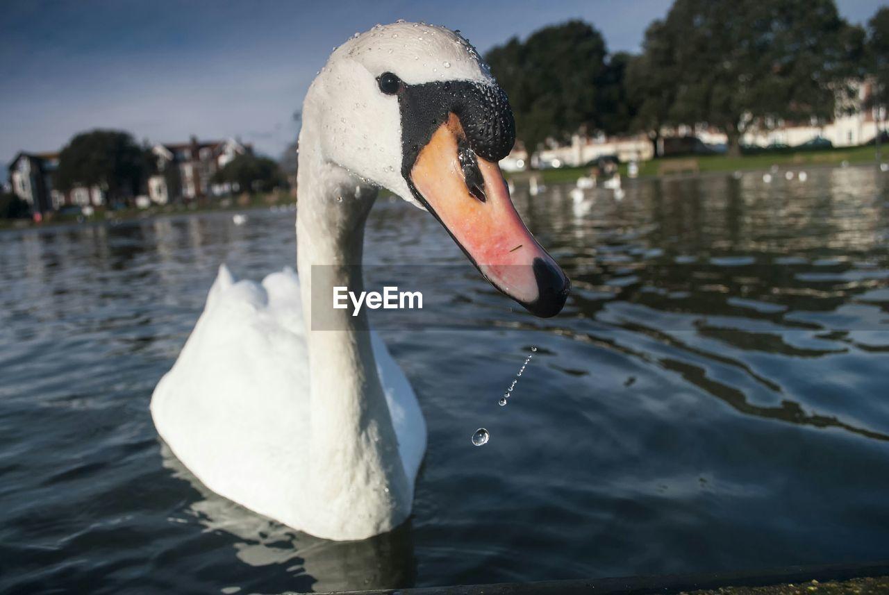 White Swan Swimming In Lake