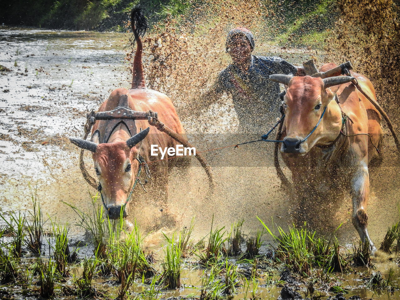 domestic animals, mammal, livestock, horse, field, herbivorous, cow, day, outdoors, water, nature, real people, men, motion, grass, tree, people