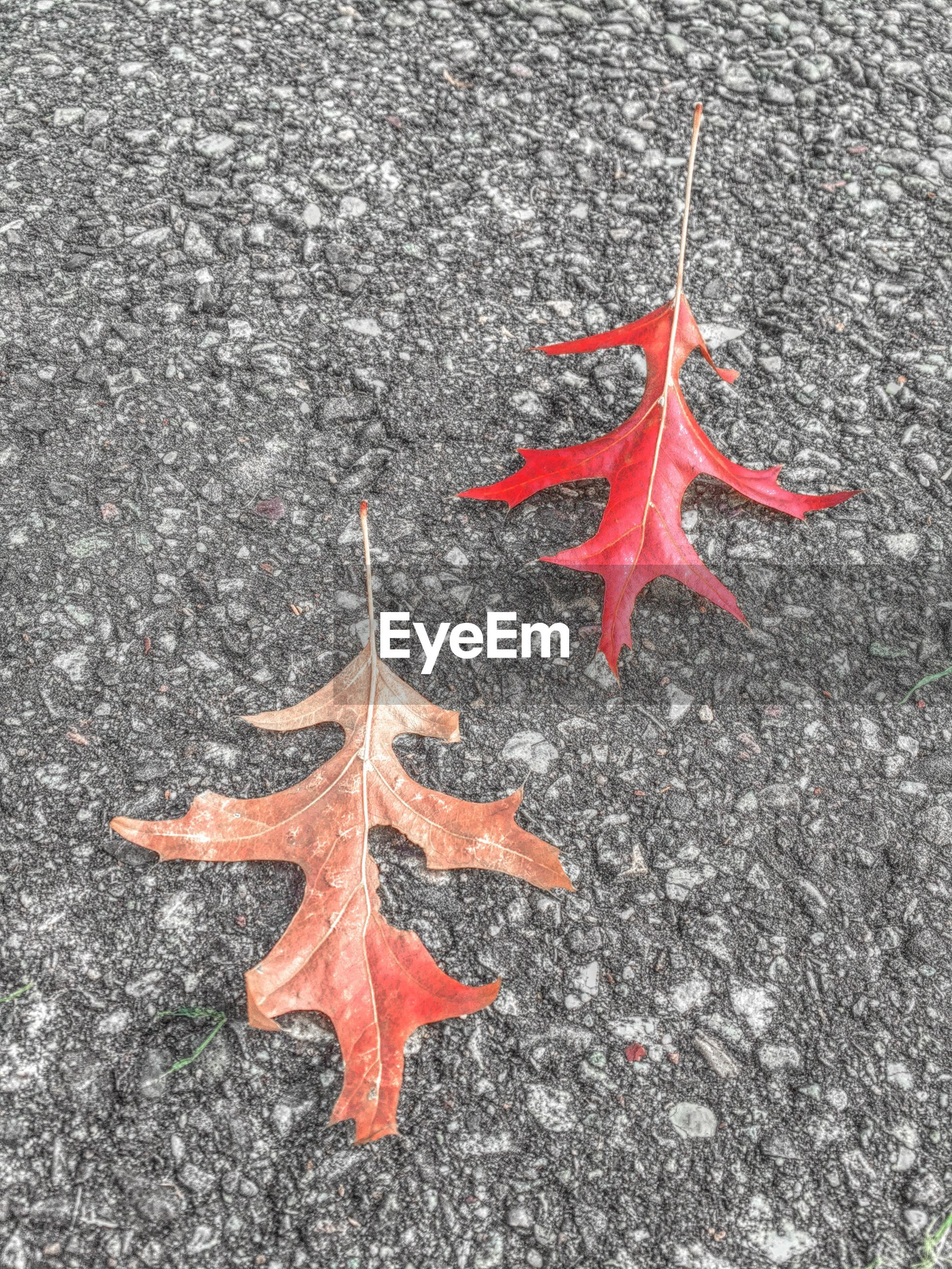 red, high angle view, close-up, autumn, change, leaf, nature, day, orange color, maple leaf, outdoors, asphalt, no people, street, fragility, season, directly above, natural pattern, star shape, dry
