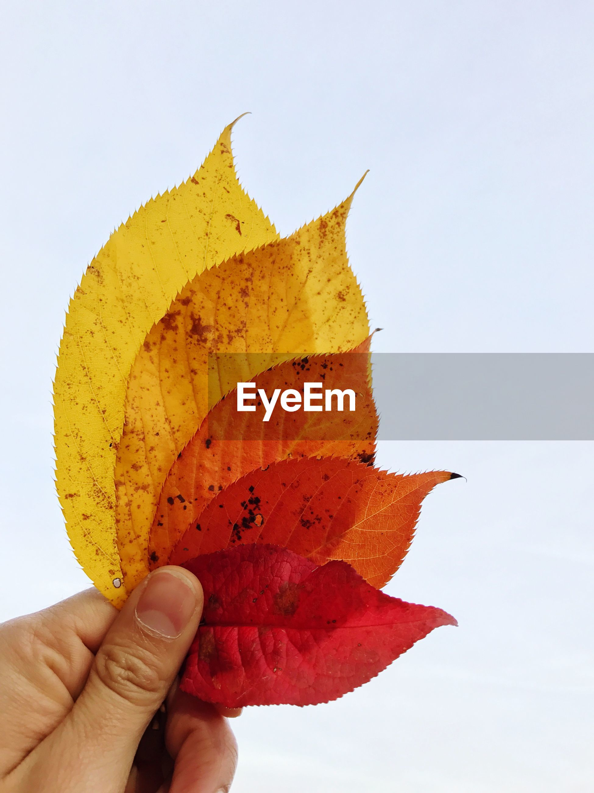 Cropped hand of person holding autumn leaves against white background