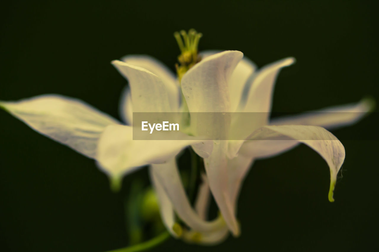 petal, flower, fragility, flower head, beauty in nature, growth, freshness, plant, nature, close-up, no people, blooming, outdoors, black background, day, iris - plant, day lily