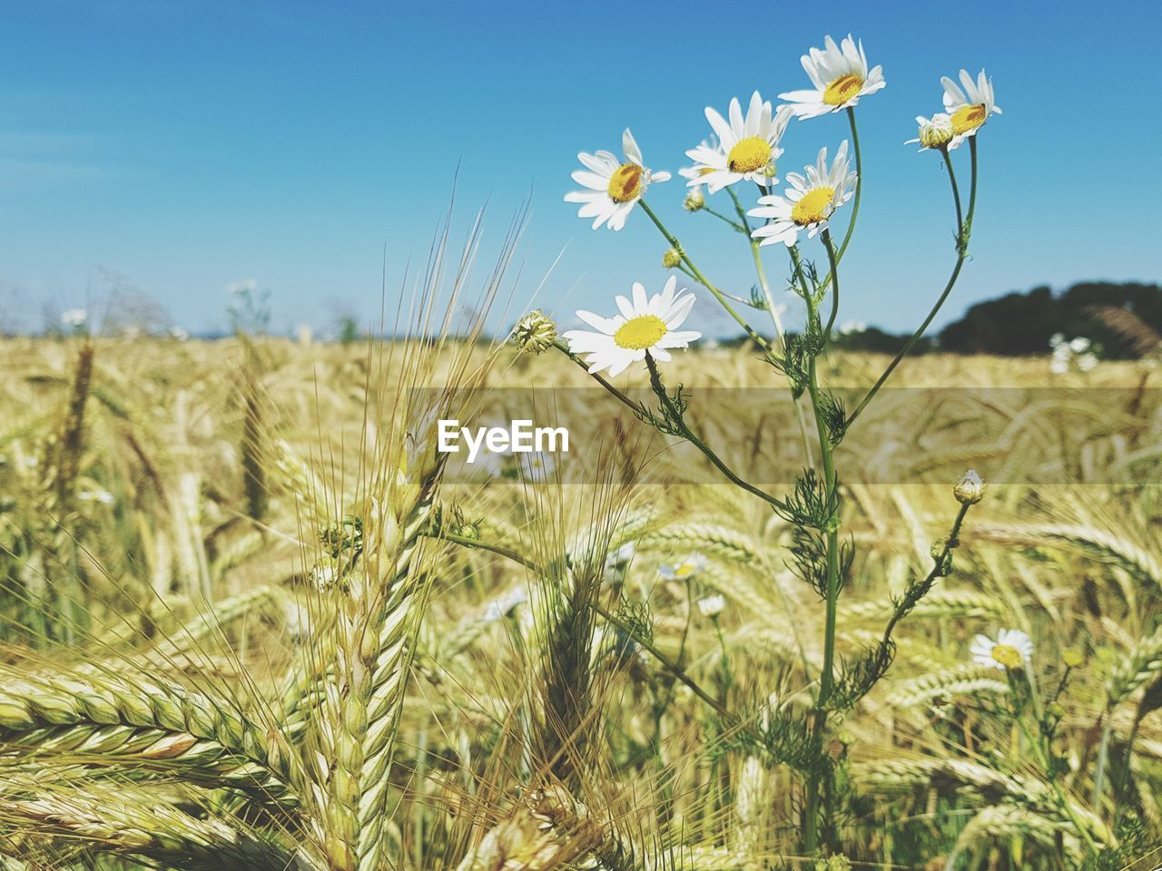 plant, growth, field, beauty in nature, flowering plant, land, sky, flower, nature, landscape, freshness, focus on foreground, day, close-up, agriculture, rural scene, crop, tranquility, no people, sunlight, outdoors
