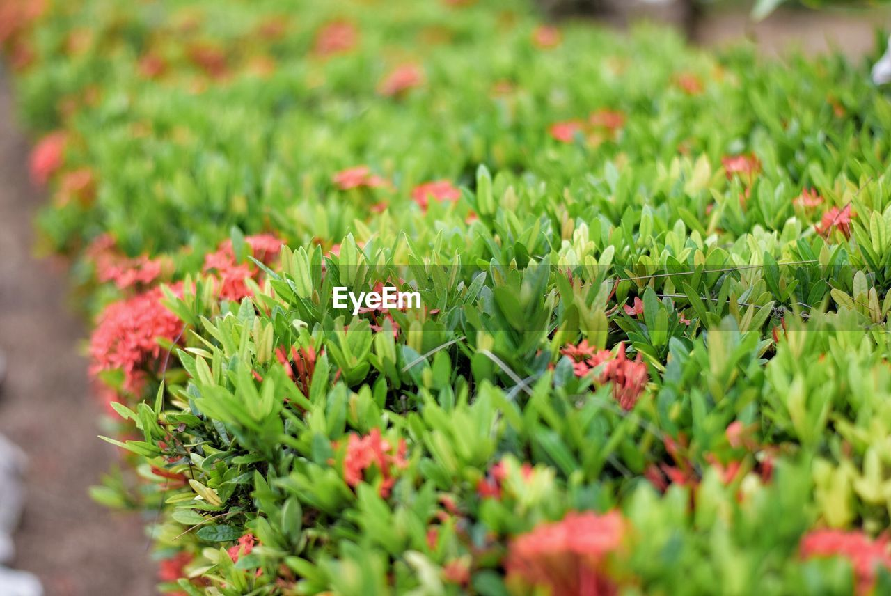 growth, green color, nature, plant, red, outdoors, flower, no people, freshness, day
