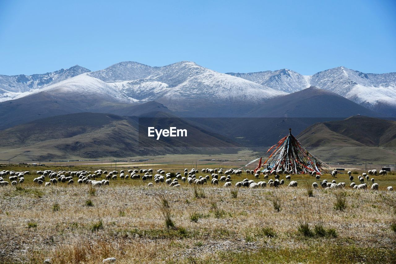Flock Of Sheep Grazing On Grassy Field By Snowcapped Mountains At Qinghai