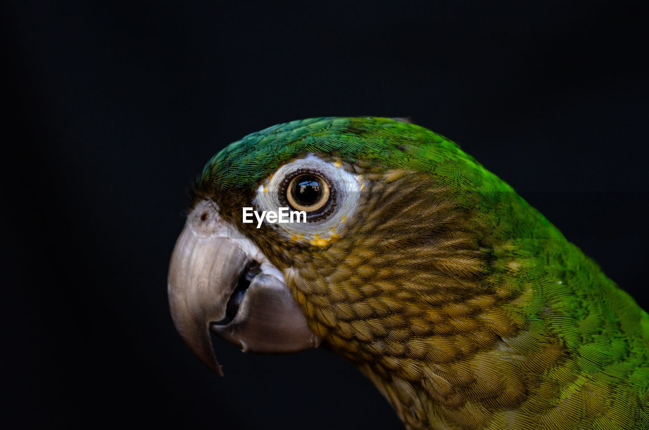 one animal, animal themes, vertebrate, animal, bird, animal wildlife, close-up, animals in the wild, black background, studio shot, animal body part, beak, parrot, green color, animal head, no people, copy space, indoors, looking, looking away, animal eye, profile view, eagle