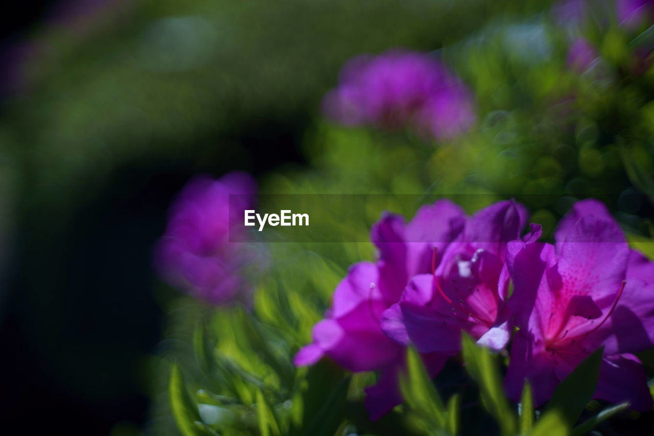 flowering plant, flower, freshness, vulnerability, beauty in nature, fragility, plant, petal, close-up, growth, purple, inflorescence, flower head, nature, selective focus, no people, day, outdoors, botany, pink color, springtime, bunch of flowers, lilac