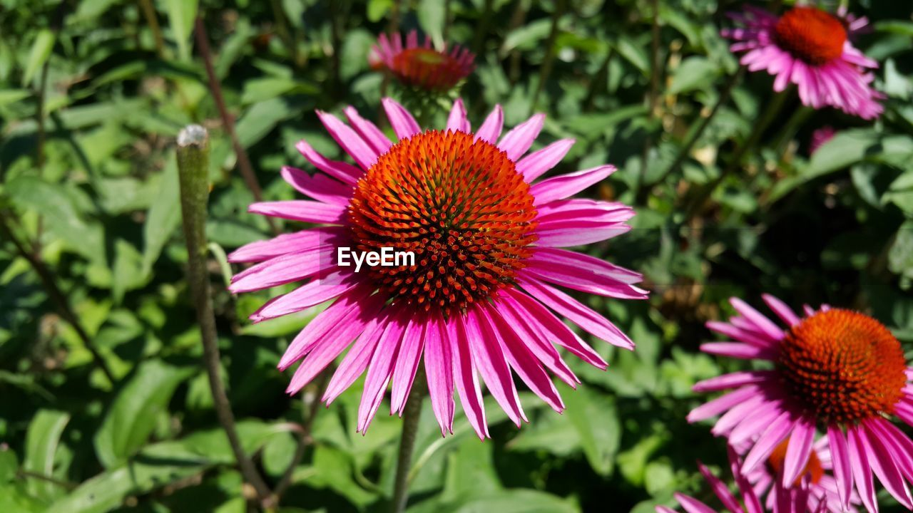 flower, growth, beauty in nature, nature, fragility, petal, freshness, flower head, pollen, eastern purple coneflower, purple, blooming, plant, day, no people, coneflower, outdoors, pink color, close-up
