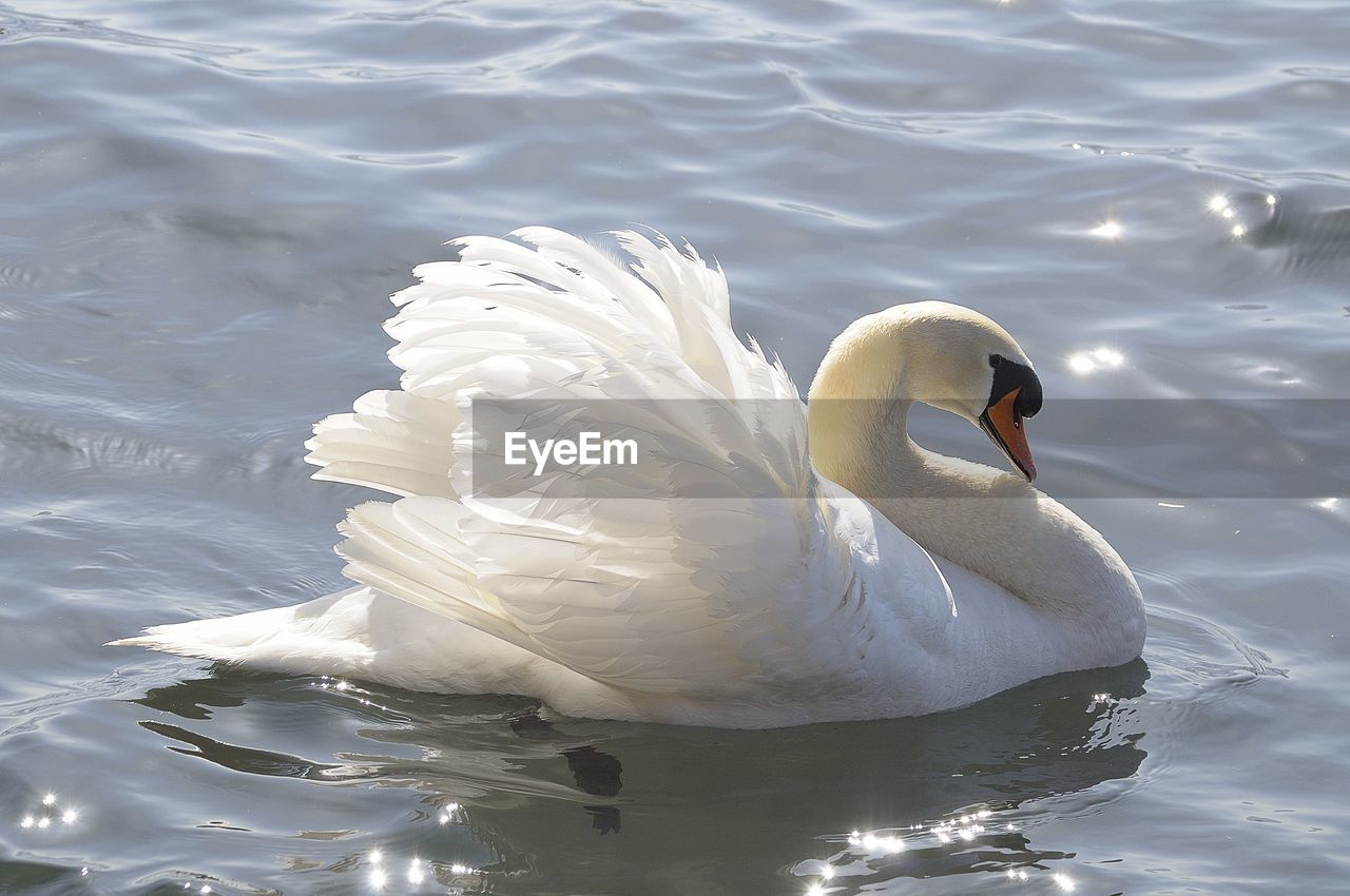 animal themes, animals in the wild, animal, animal wildlife, water, bird, vertebrate, lake, swimming, swan, one animal, waterfront, white color, water bird, zoology, mute swan, nature, day, no people, beak, floating on water, animal neck, freshwater bird