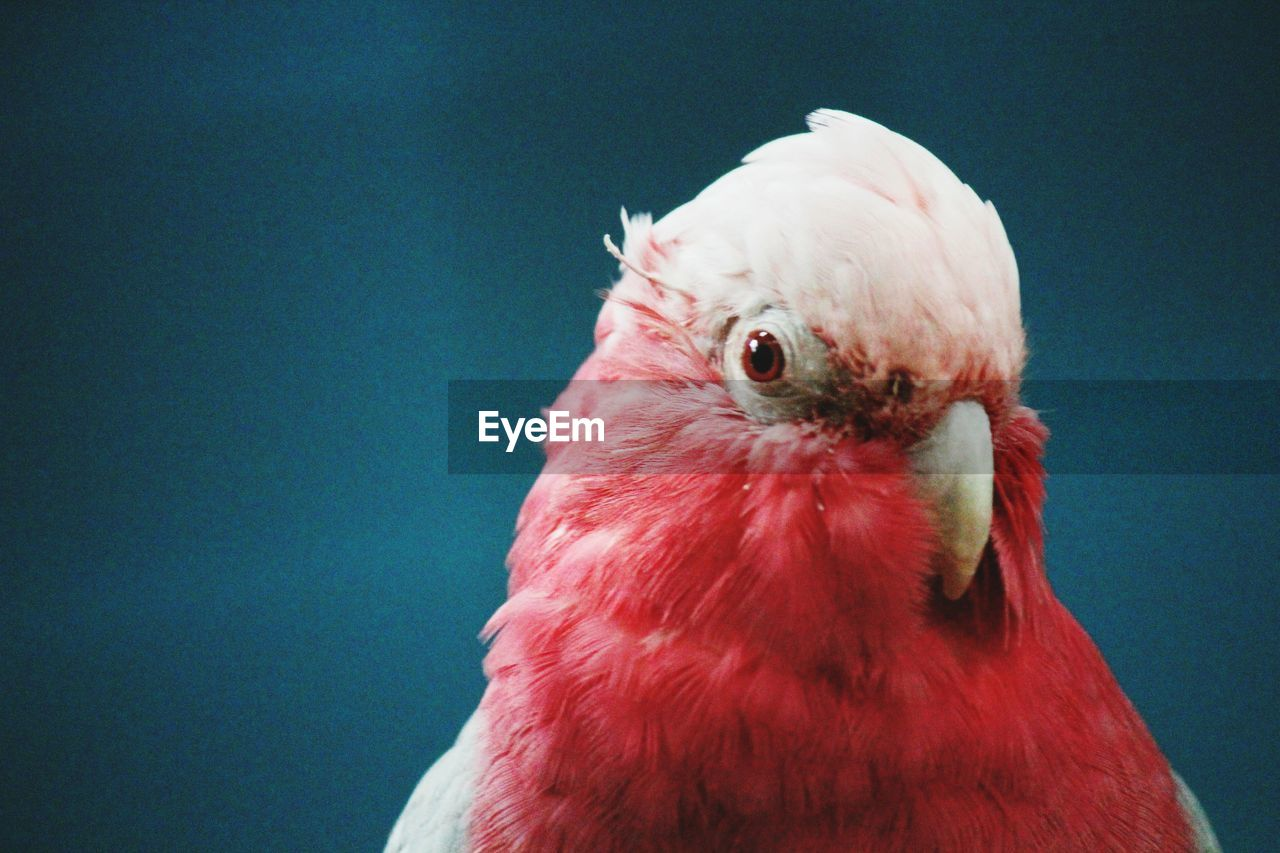 bird, animal themes, one animal, red, animals in the wild, animal wildlife, beak, no people, close-up, nature, day, outdoors, perching
