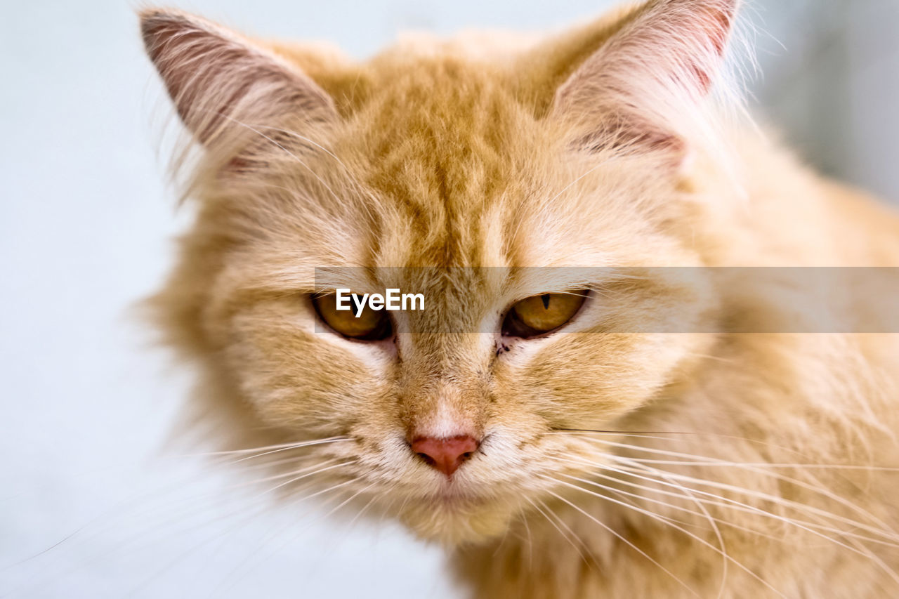 cat, feline, domestic cat, domestic, pets, mammal, animal themes, one animal, domestic animals, animal, portrait, vertebrate, close-up, looking at camera, whisker, no people, animal head, animal body part, focus on foreground, relaxation, animal eye, ginger cat, tabby