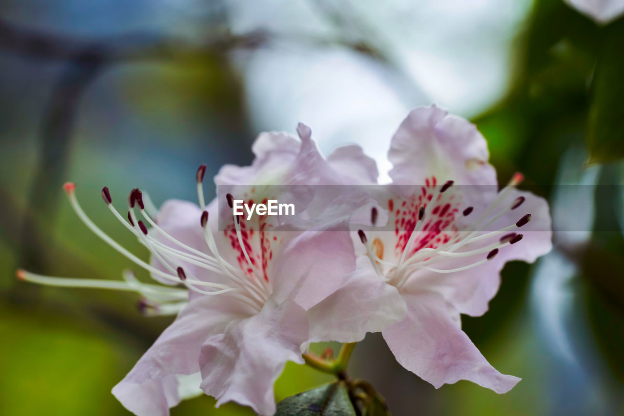flower, flowering plant, beauty in nature, fragility, vulnerability, plant, growth, petal, freshness, flower head, close-up, pollen, inflorescence, selective focus, day, nature, no people, pink color, blossom, stamen, springtime, cherry blossom