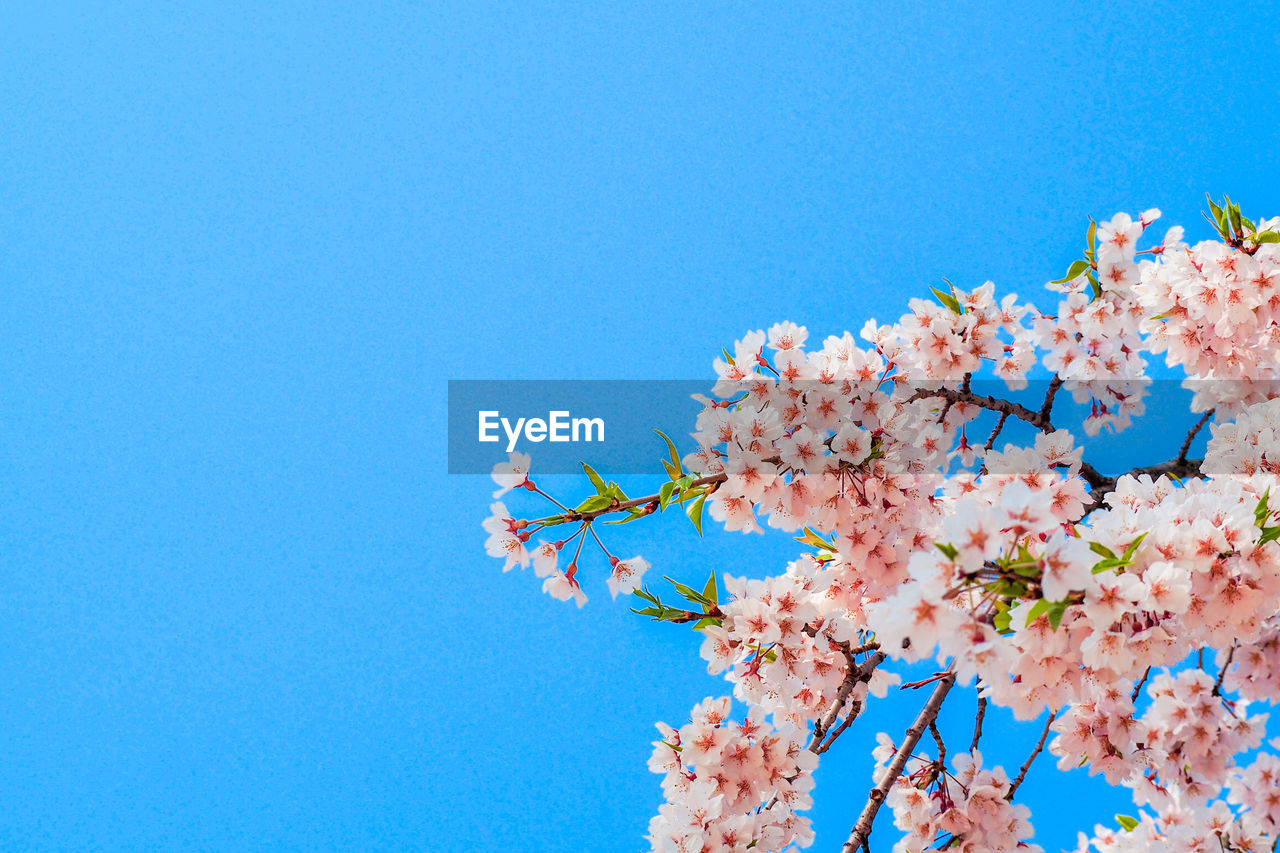 flower, flowering plant, sky, plant, low angle view, fragility, blue, tree, clear sky, beauty in nature, growth, copy space, vulnerability, nature, pink color, branch, springtime, freshness, blossom, day, no people, cherry blossom, cherry tree, outdoors, flower head, bunch of flowers, spring