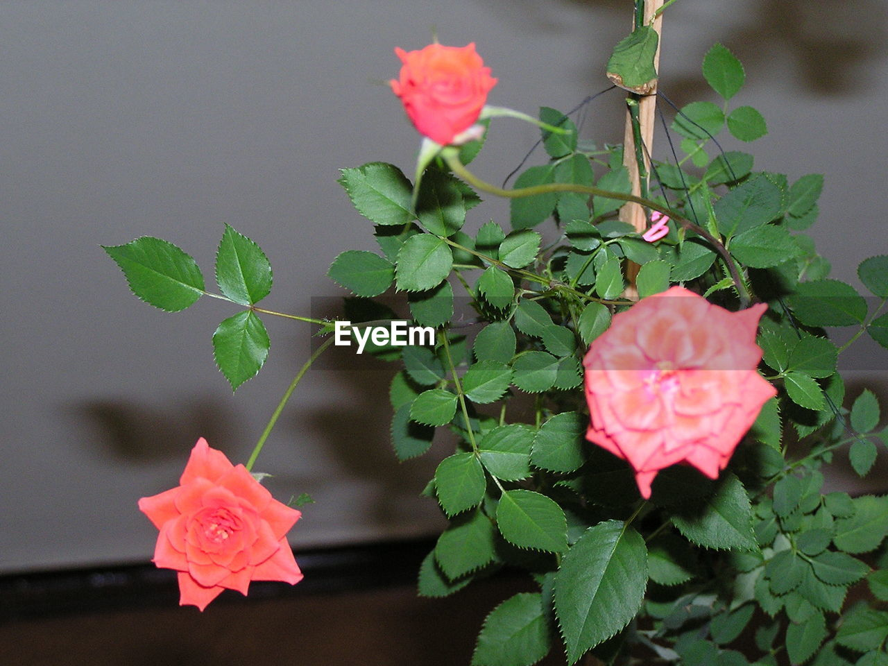 plant, leaf, plant part, beauty in nature, growth, freshness, fragility, flower, vulnerability, petal, flowering plant, nature, pink color, close-up, flower head, inflorescence, no people, green color, rose, day, outdoors