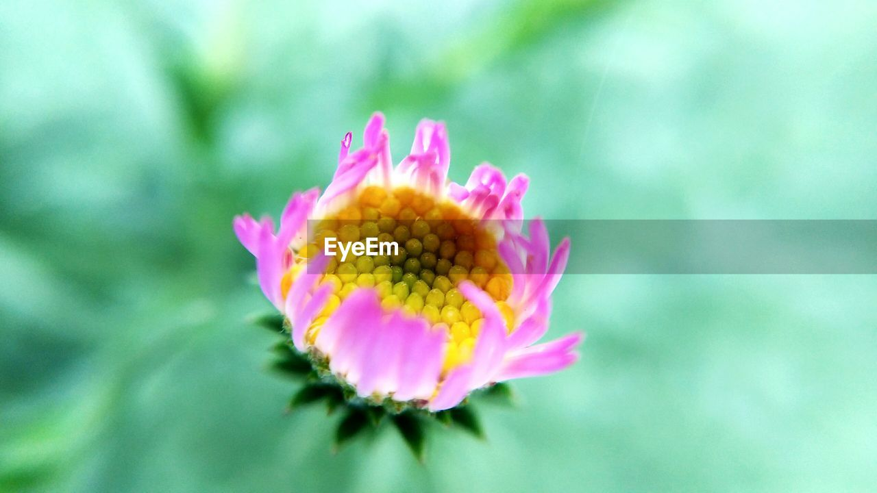 flower, pink color, petal, nature, fragility, flower head, beauty in nature, freshness, growth, no people, focus on foreground, day, outdoors, plant, blooming, close-up, zinnia
