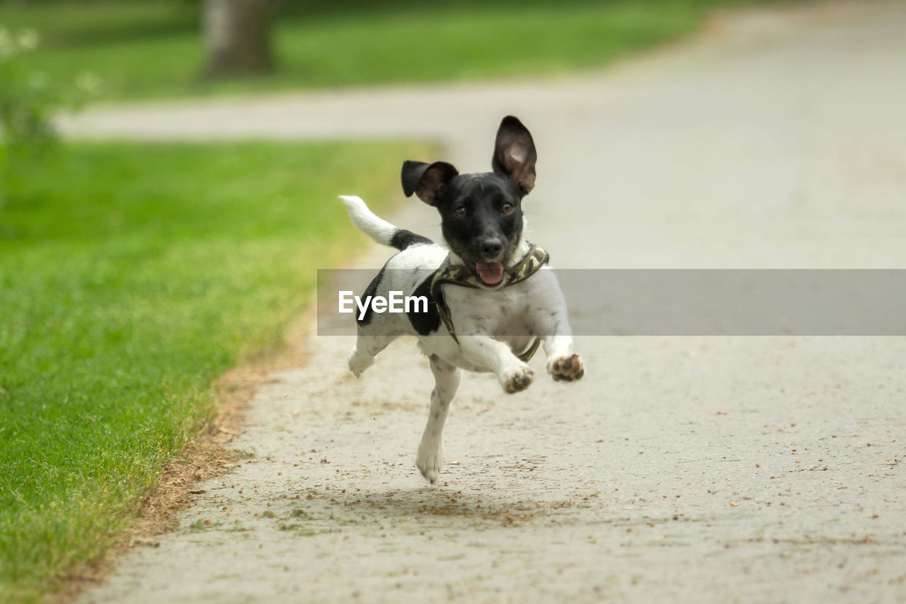 pets, dog, domestic, canine, domestic animals, one animal, mammal, running, motion, day, vertebrate, selective focus, nature, grass, no people, land, full length