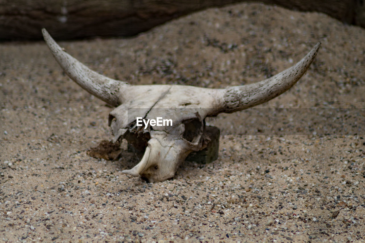 horned, animal skull, one animal, no people, day, antler, sand, animal themes, outdoors, nature, close-up