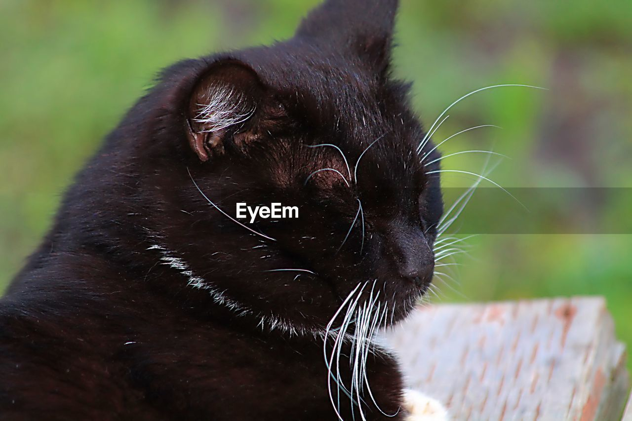 one animal, animal themes, animal, mammal, domestic animals, pets, domestic, feline, cat, vertebrate, domestic cat, whisker, focus on foreground, close-up, black color, animal body part, no people, day, animal head, looking