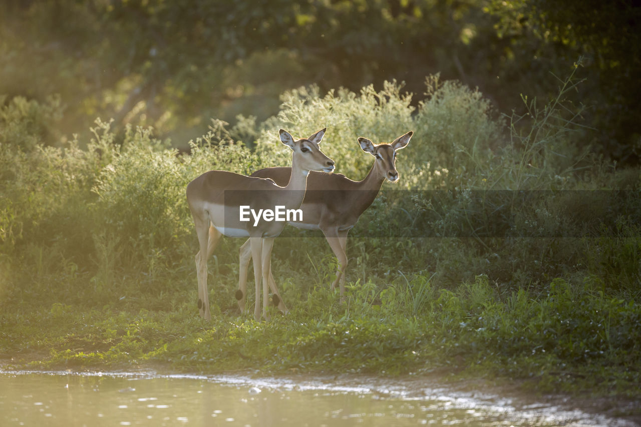 animal, animal themes, animal wildlife, vertebrate, mammal, land, plant, animals in the wild, nature, domestic animals, standing, group of animals, no people, day, field, water, tree, beauty in nature, grass, herbivorous