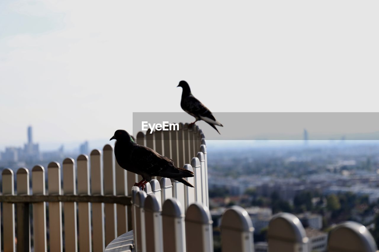 bird, animal themes, animal, vertebrate, animals in the wild, perching, animal wildlife, group of animals, sky, architecture, nature, day, no people, railing, focus on foreground, outdoors, built structure, building exterior, two animals, clear sky, cityscape, wooden post