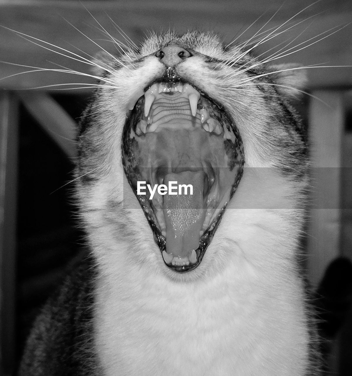 one animal, mammal, animal, animal themes, cat, mouth open, mouth, close-up, domestic cat, domestic animals, feline, pets, domestic, whisker, yawning, vertebrate, animal body part, facial expression, no people, focus on foreground, animal teeth, animal mouth, animal head, animal nose