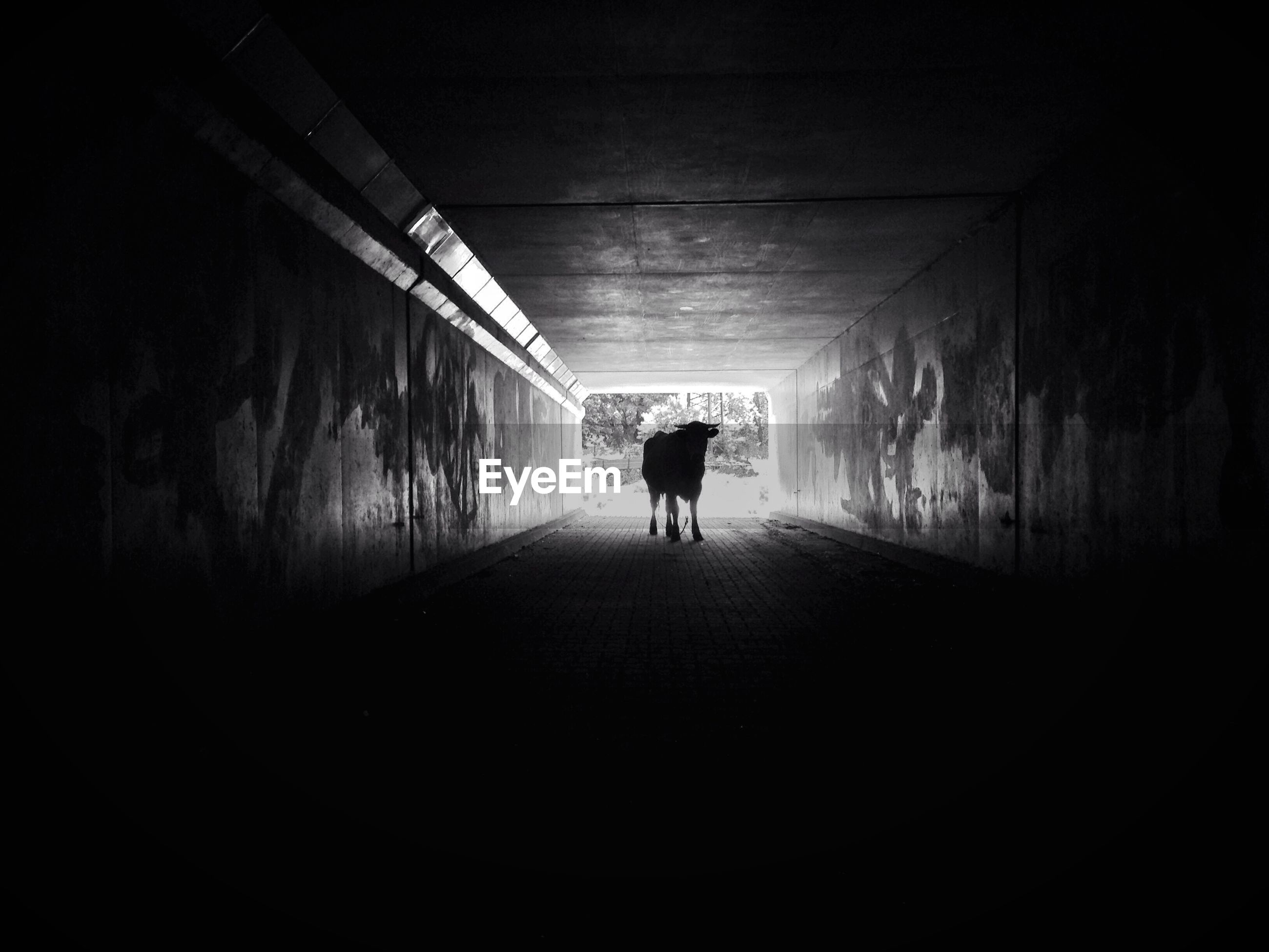 Silhouette cow in tunnel