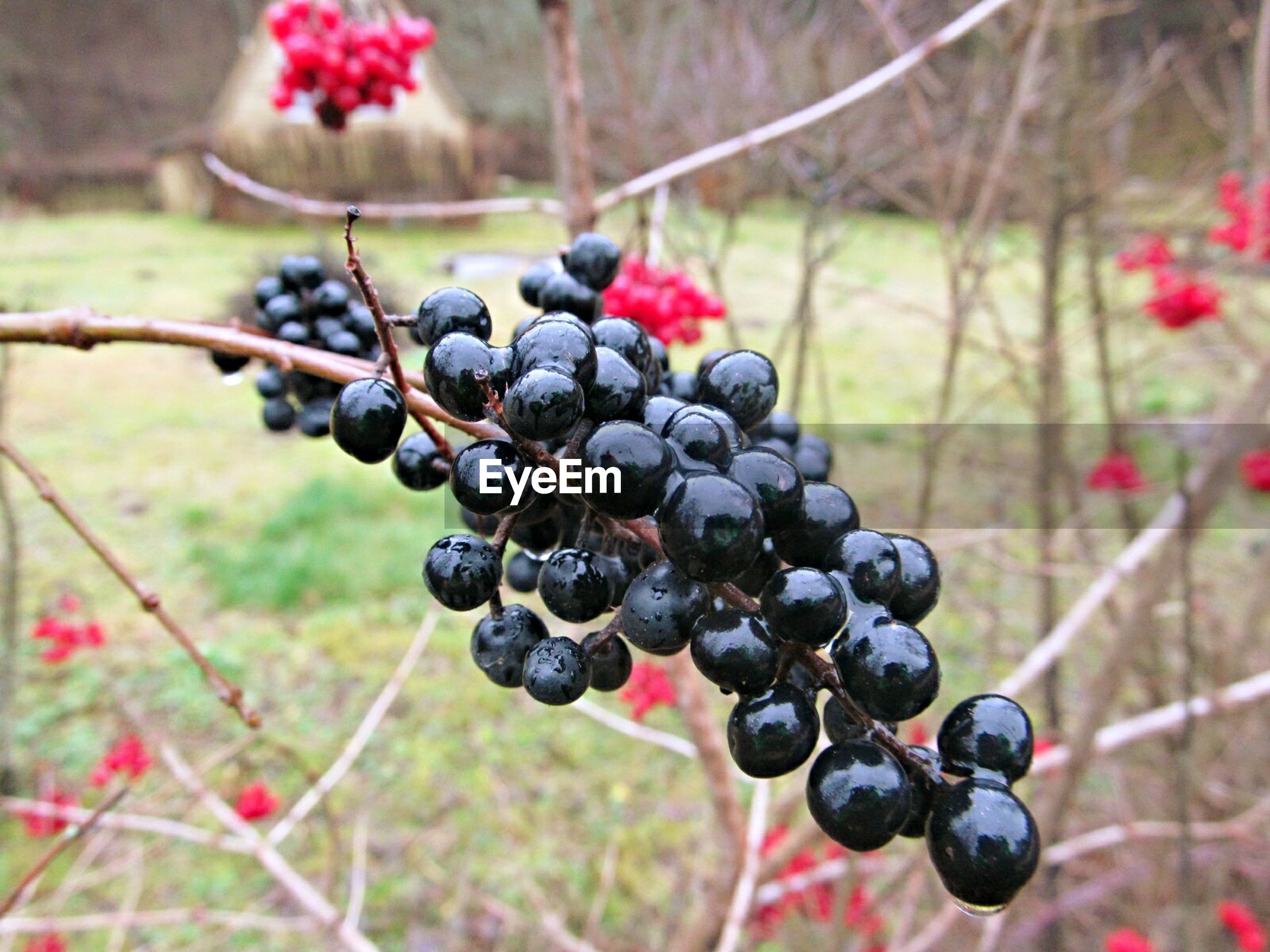 fruit, food and drink, food, freshness, berry fruit, healthy eating, focus on foreground, close-up, berry, ripe, grape, growth, bunch, tree, selective focus, nature, vineyard, abundance, blueberry, branch