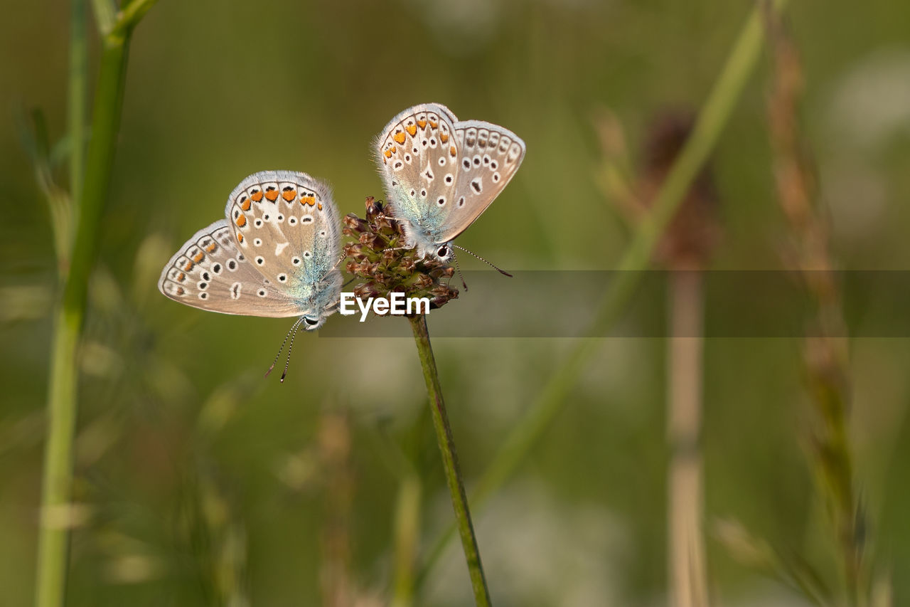 plant, growth, beauty in nature, animal wildlife, close-up, focus on foreground, animals in the wild, insect, invertebrate, nature, flower, animal, animal wing, animal themes, day, no people, butterfly - insect, fragility, vulnerability, plant stem, outdoors, pollination, butterfly