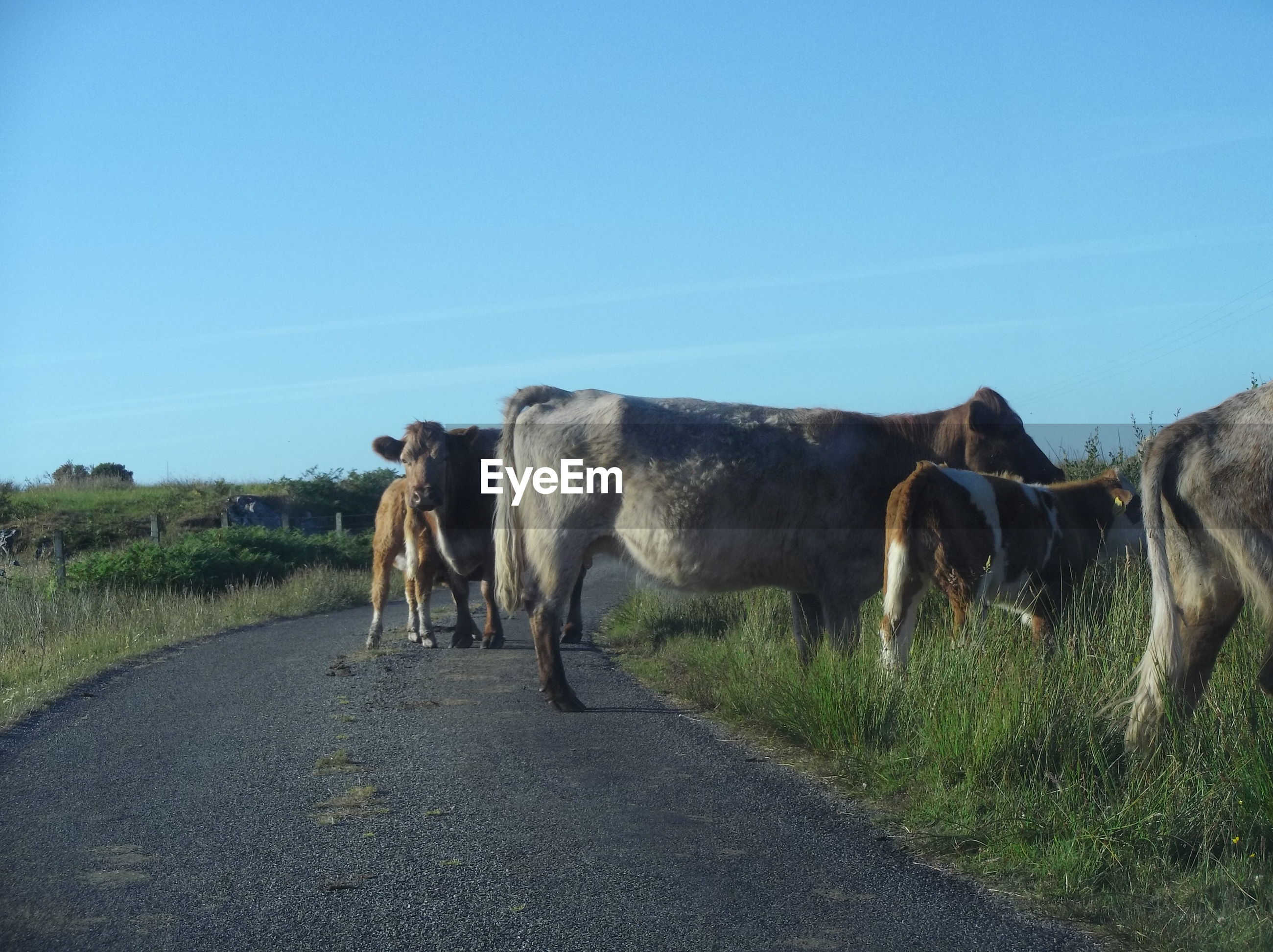 COWS GRAZING ON ROAD