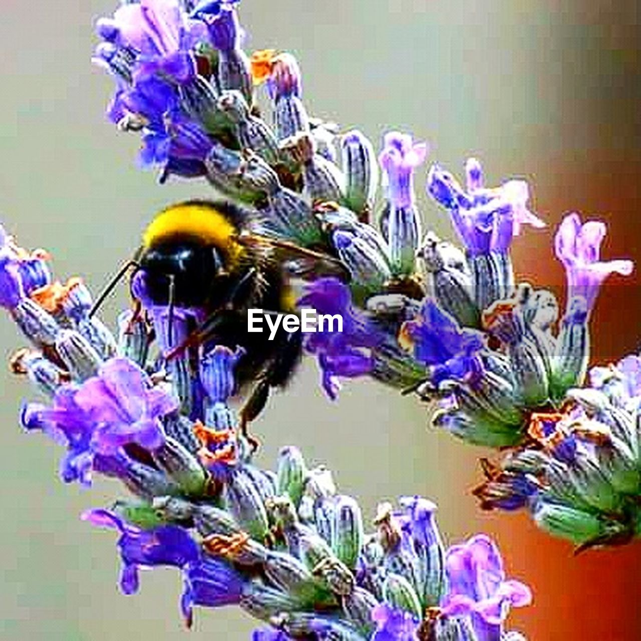 flower, insect, fragility, purple, beauty in nature, nature, animal themes, bee, animals in the wild, honey bee, petal, no people, freshness, one animal, close-up, animal wildlife, flower head, plant, day, pollination, outdoors, buzzing