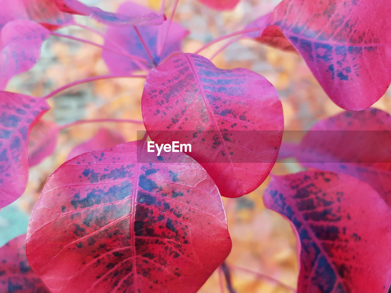close-up, plant part, leaf, plant, growth, focus on foreground, beauty in nature, day, nature, pink color, no people, selective focus, freshness, autumn, outdoors, change, food, food and drink, vulnerability, red, leaves