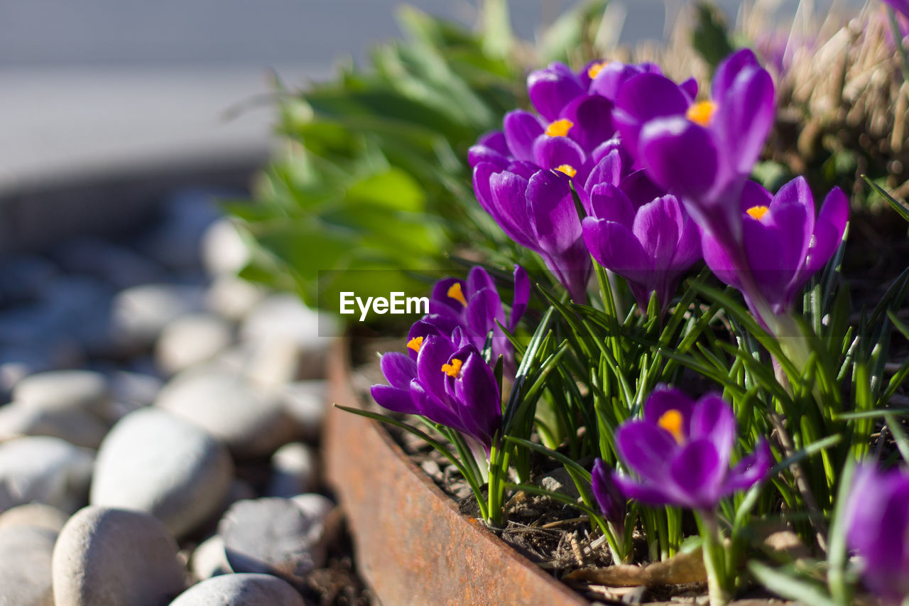 flowering plant, flower, vulnerability, plant, freshness, close-up, fragility, beauty in nature, petal, purple, selective focus, nature, growth, no people, flower head, inflorescence, day, focus on foreground, outdoors, sunlight, crocus