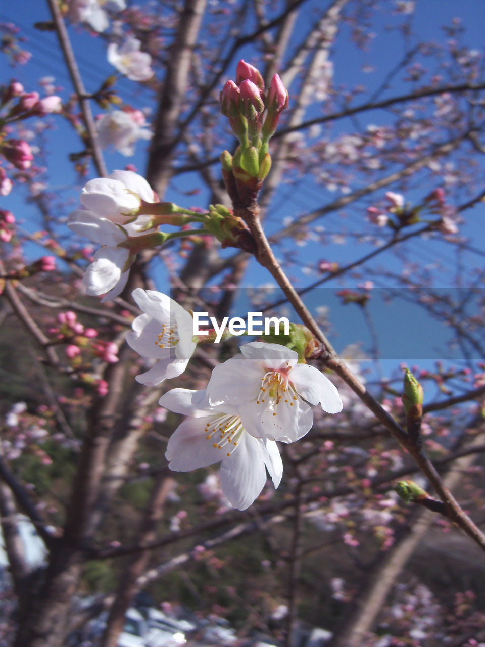 flower, blossom, fragility, white color, tree, springtime, apple blossom, growth, cherry blossom, beauty in nature, apple tree, branch, nature, orchard, freshness, petal, botany, twig, cherry tree, almond tree, flower head, stamen, magnolia, day, no people, pollen, plum blossom, close-up, blooming, low angle view, outdoors