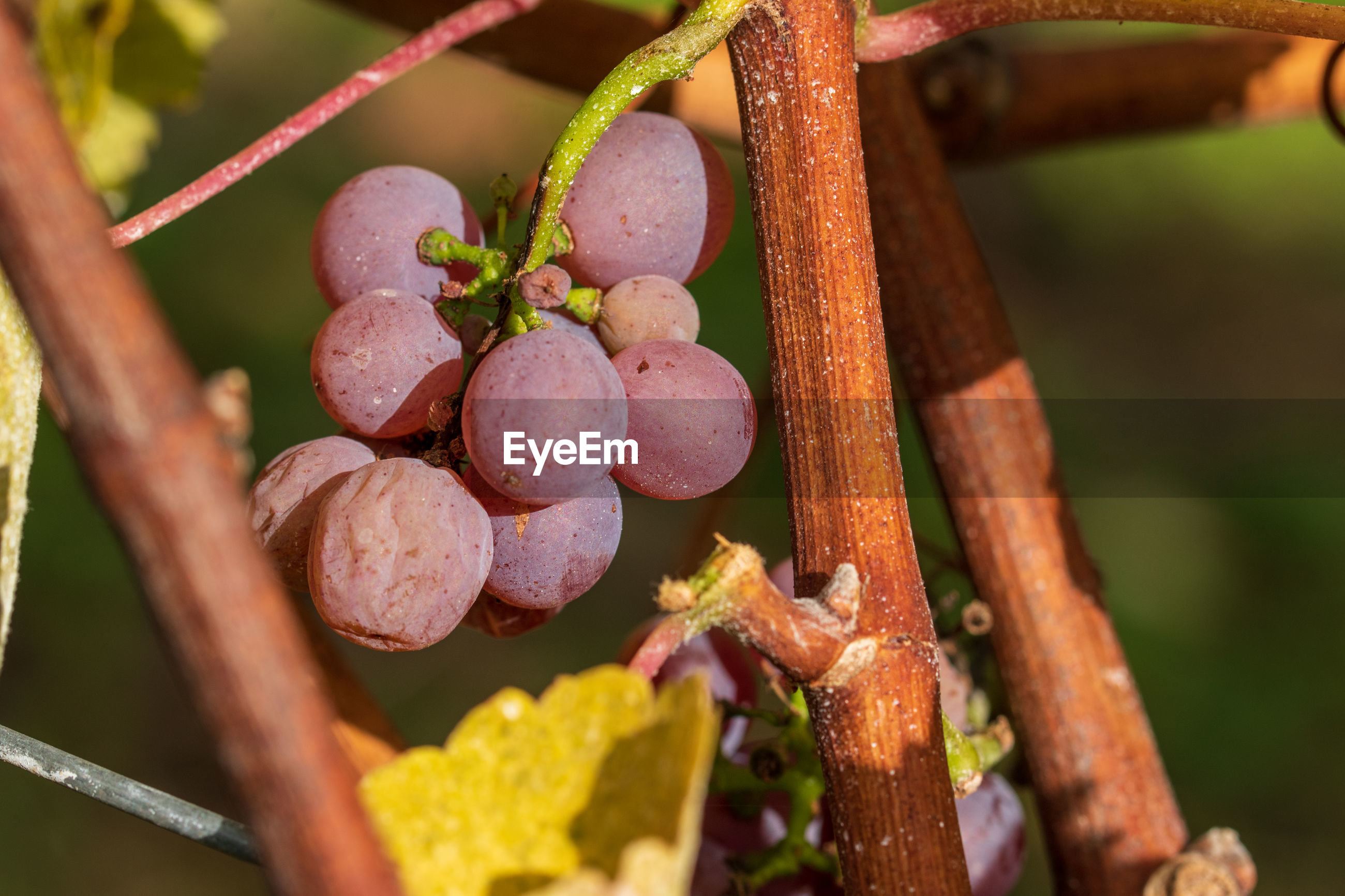 CLOSE-UP OF GRAPES GROWING ON VINEYARD