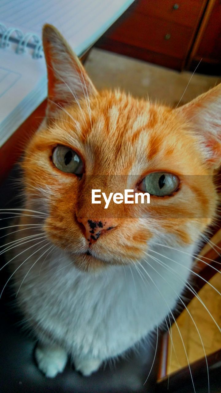 domestic cat, one animal, pets, domestic animals, animal themes, mammal, feline, whisker, indoors, no people, close-up, looking at camera, portrait, ginger cat, day