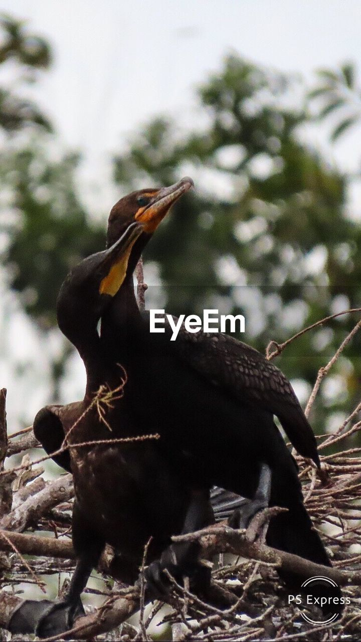 animal themes, animal wildlife, animals in the wild, animal, bird, one animal, vertebrate, tree, nature, no people, plant, focus on foreground, day, perching, branch, outdoors, close-up, beak, animal nest, low angle view, mouth open