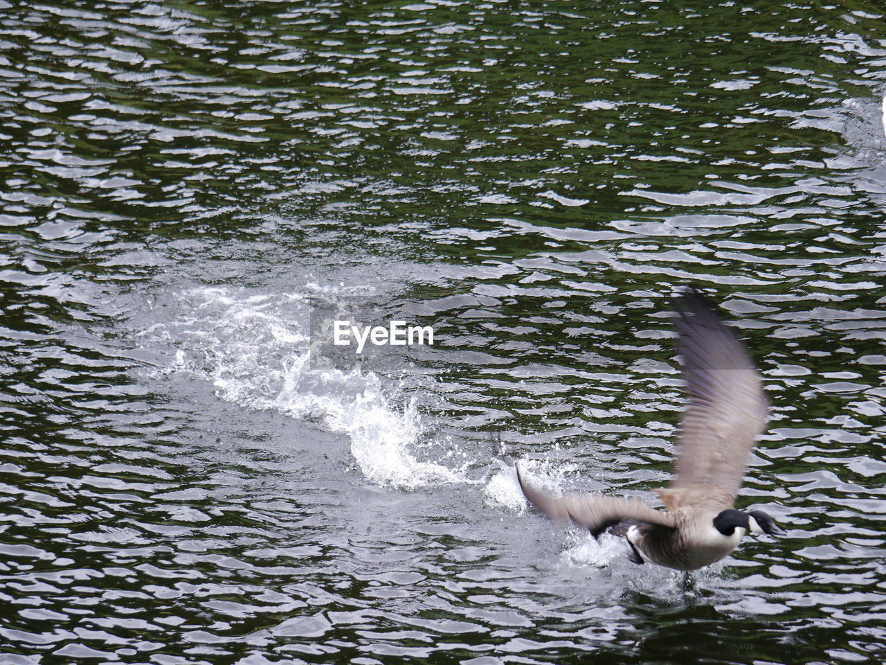 water, animals in the wild, one animal, animal themes, bird, spread wings, nature, lake, day, animal wildlife, no people, outdoors, swimming, swan