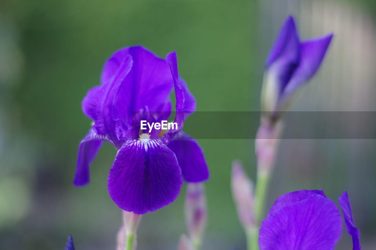CLOSE-UP OF PURPLE IRIS OF BLUE FLOWER