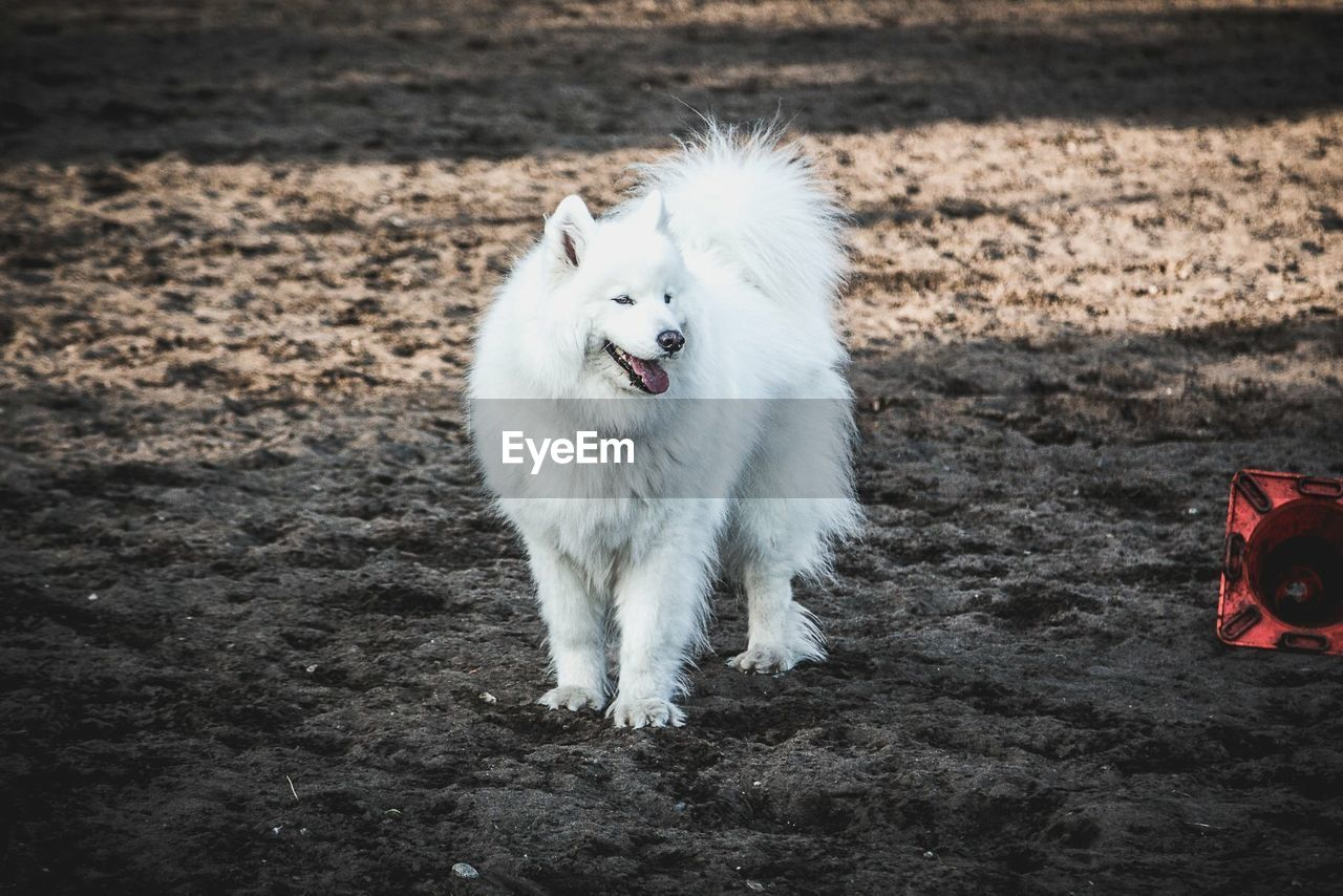 one animal, mammal, domestic, pets, domestic animals, vertebrate, canine, white color, dog, day, nature, field, land, no people, standing, high angle view, outdoors, mouth open
