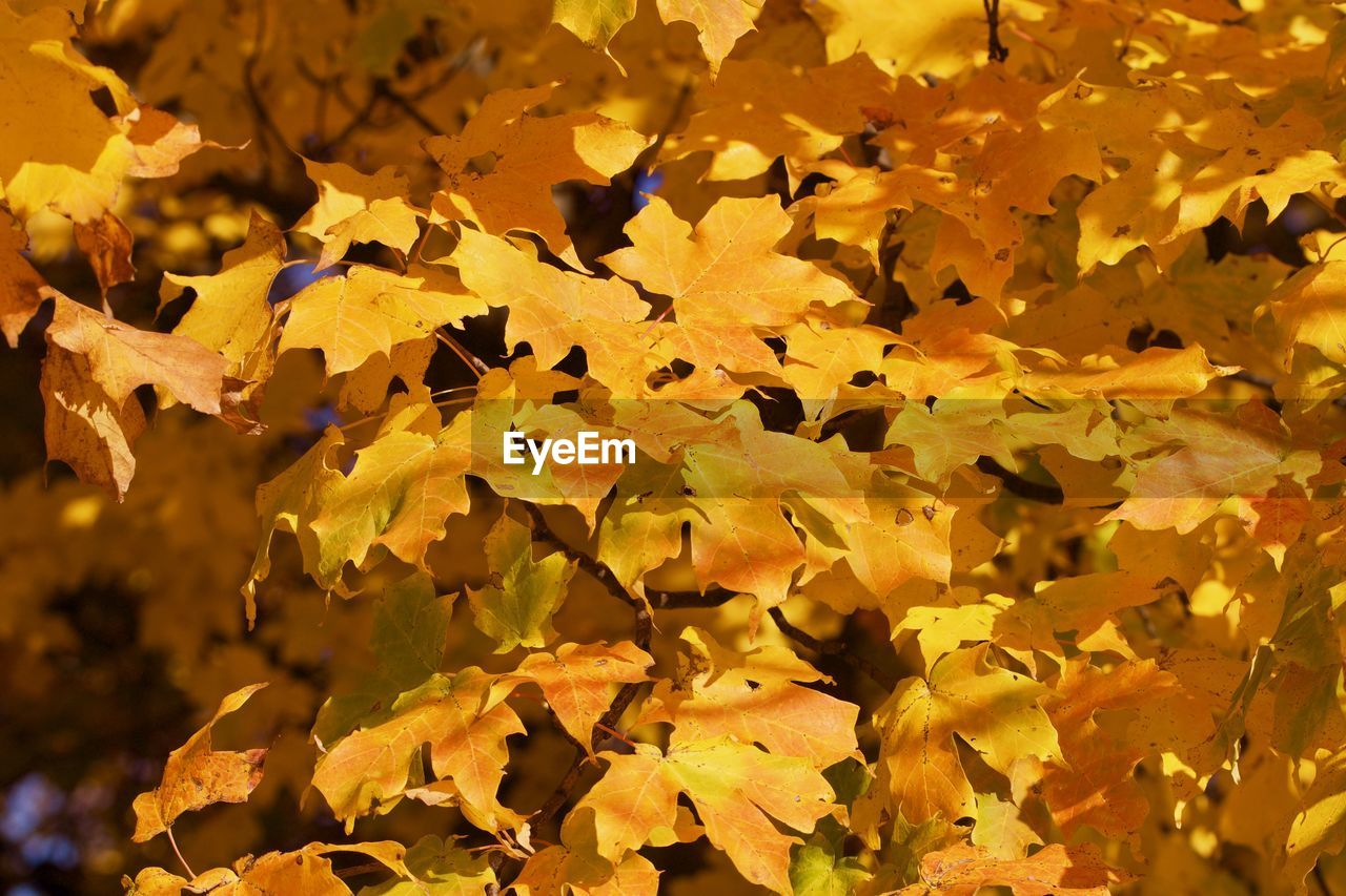 FULL FRAME SHOT OF YELLOW LEAVES DURING AUTUMN