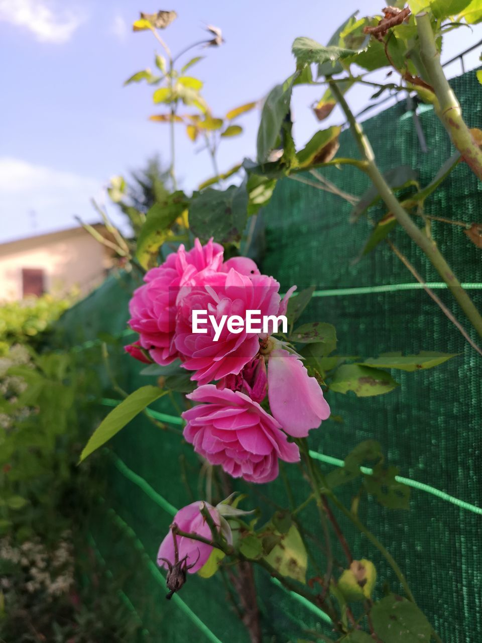 pink color, plant, flower, flowering plant, beauty in nature, growth, vulnerability, fragility, petal, freshness, close-up, flower head, inflorescence, leaf, nature, focus on foreground, plant part, no people, day, outdoors
