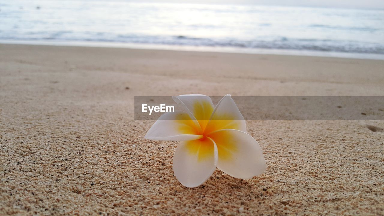 beauty in nature, land, flowering plant, flower, fragility, vulnerability, nature, beach, petal, inflorescence, close-up, sea, plant, frangipani, freshness, sand, flower head, water, focus on foreground, no people, outdoors