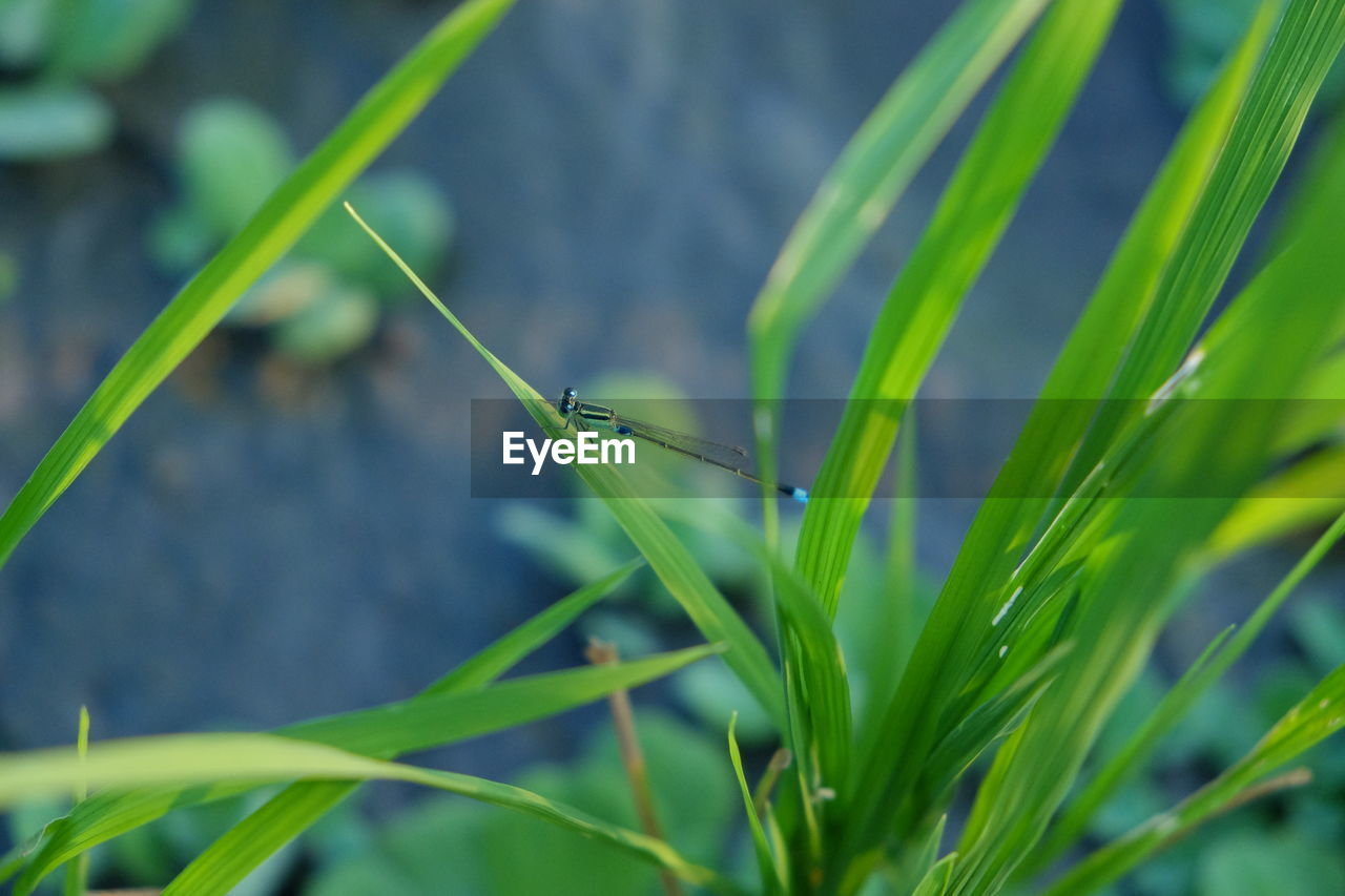 one animal, animal wildlife, animal themes, animal, animals in the wild, green color, plant, insect, invertebrate, close-up, nature, growth, day, grass, focus on foreground, plant part, blade of grass, leaf, no people, selective focus, damselfly, outdoors